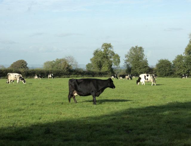 2009 : Herd seen from Coalpit Lane