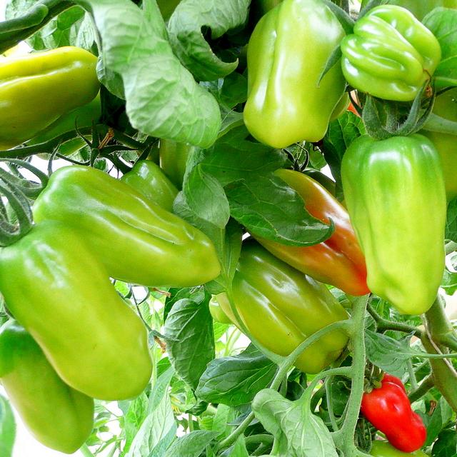 Bountiful tomato crop 1