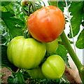 SO6424 : Bountiful tomato crop 2 by Jonathan Billinger