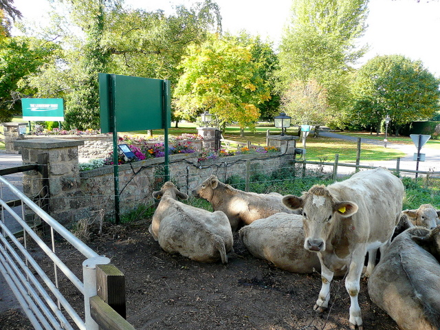 Cattle by the entrance to Leadership Trust