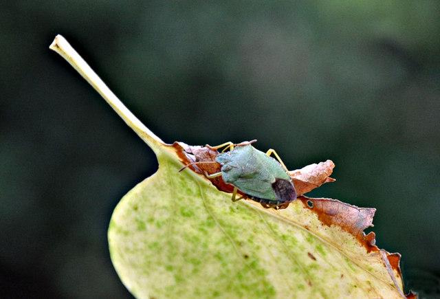 Green Shield Bug - Plymouth