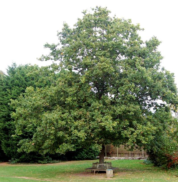 Oak celebrating Prince of Wales investiture, Raglan Castle (2)