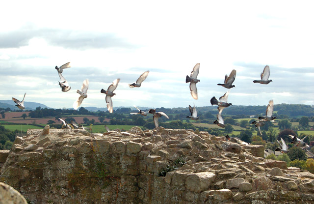 Pigeons circling the top of the Great Tower at Raglan Castle