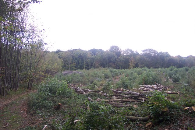 Coppiced area in Silcocks Wood