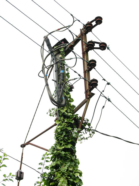 Ivy climbing up an electricity pole
