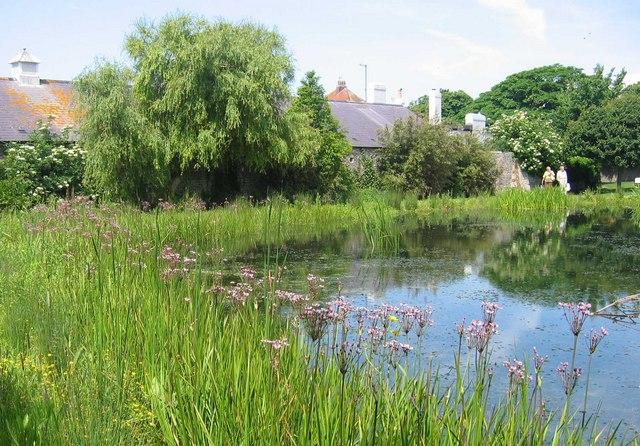 Flowering Rush at Rottingdean Pond