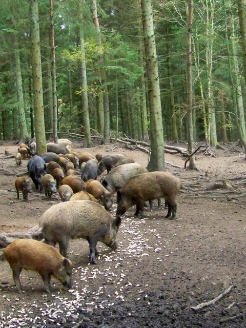 Wild Boar, Bamff