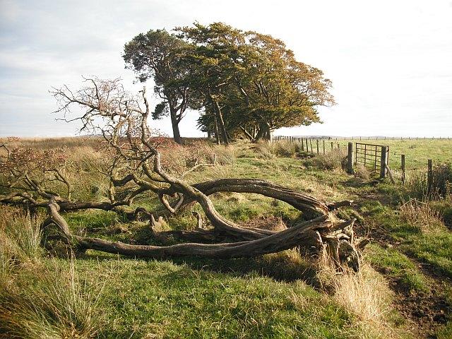 Strip wood, Cobbinshaw