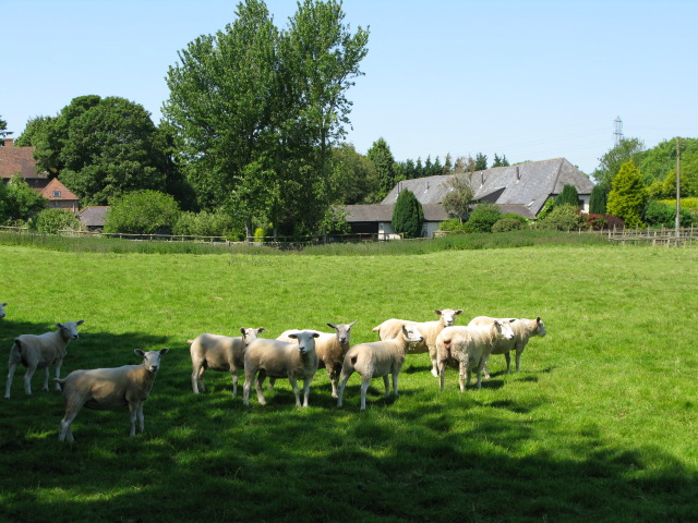 Sheep reluctant to leave the shade