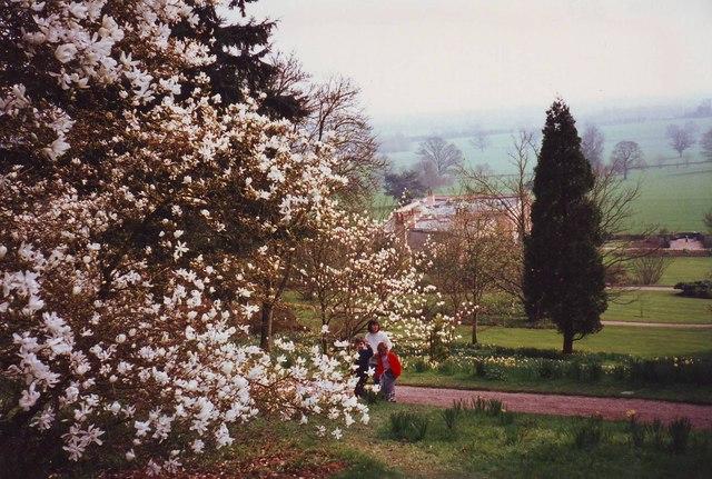 Magnolia trees at Killerton House gardens, Devon
