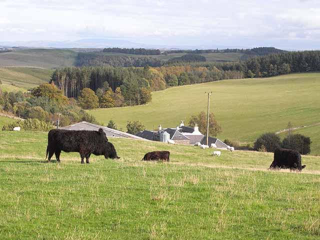 Bullocks at Wollrig