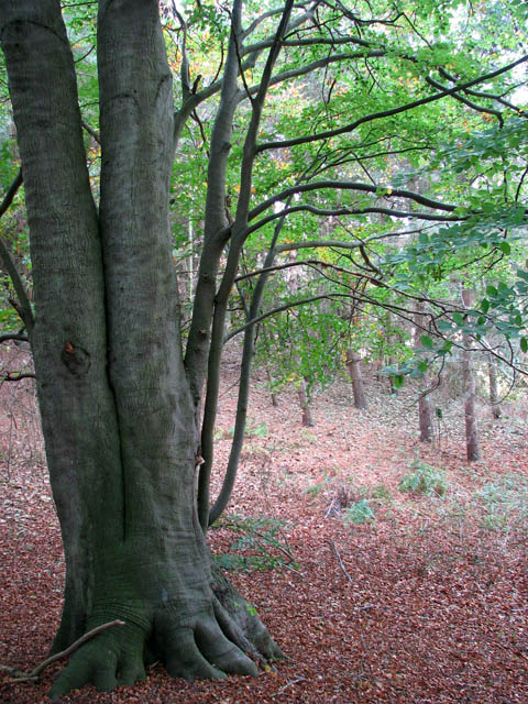 Beech tree in woodland south of Wood's End