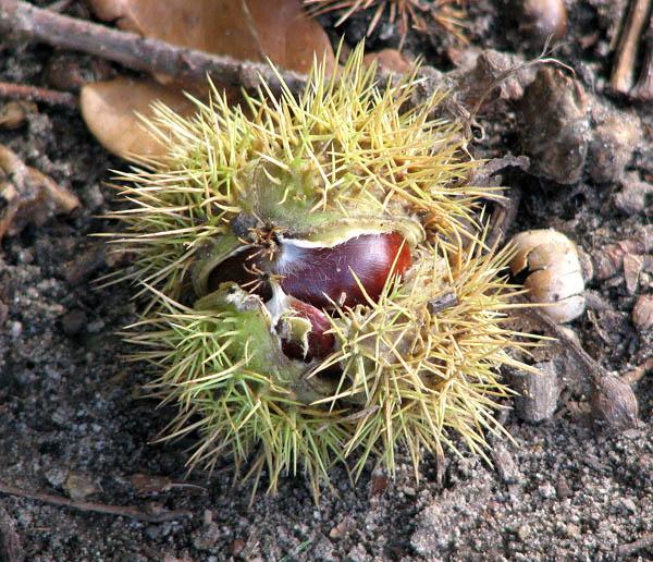 Sweet chestnut (fruit)
