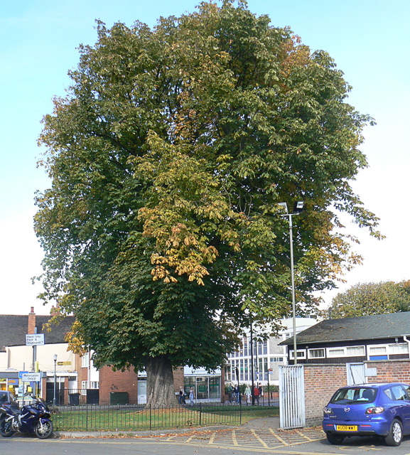 Horse Chestnut tree, Nuneaton town centre