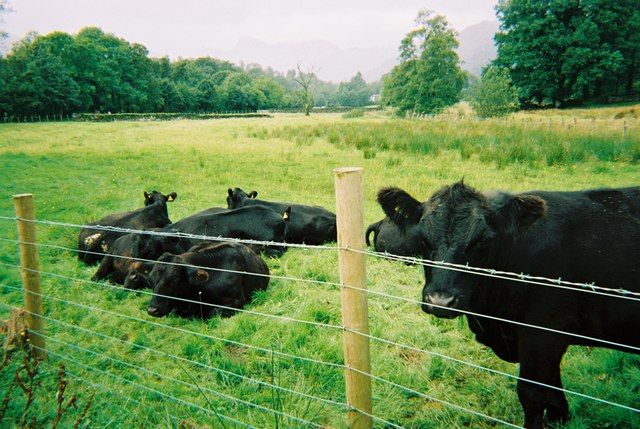 Bulls in a field near to Elterwater