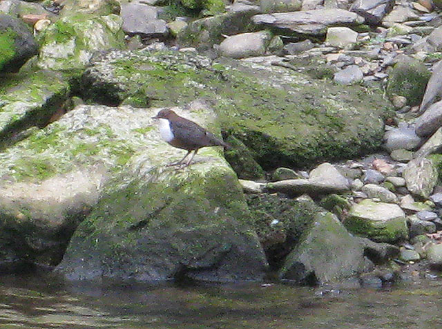 Dipper (Cinclus cinclus) near the mouth of the Afon Gwaun