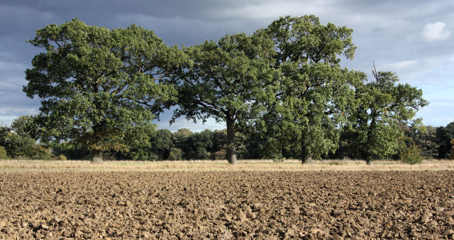 Old oaks at Little Saxham