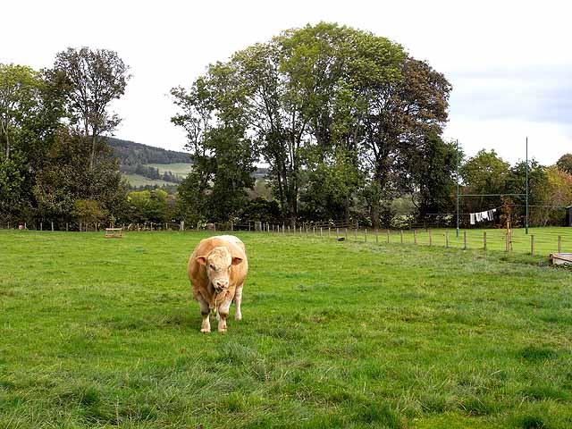 Bull at Howden Farm