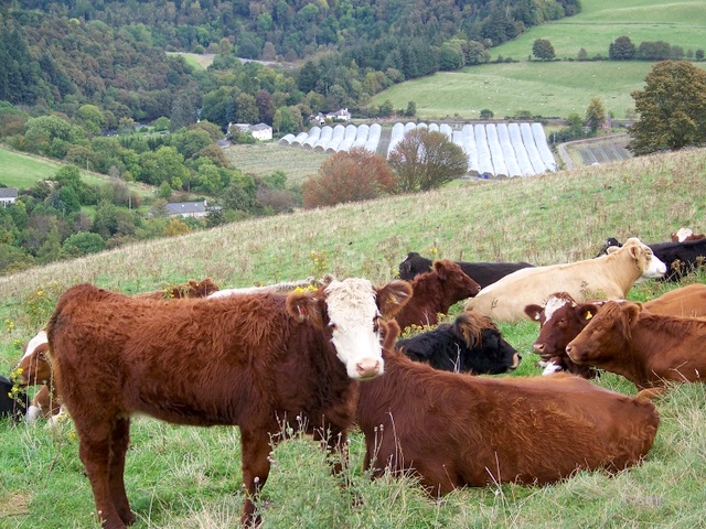 Cattle above Blairgowrie