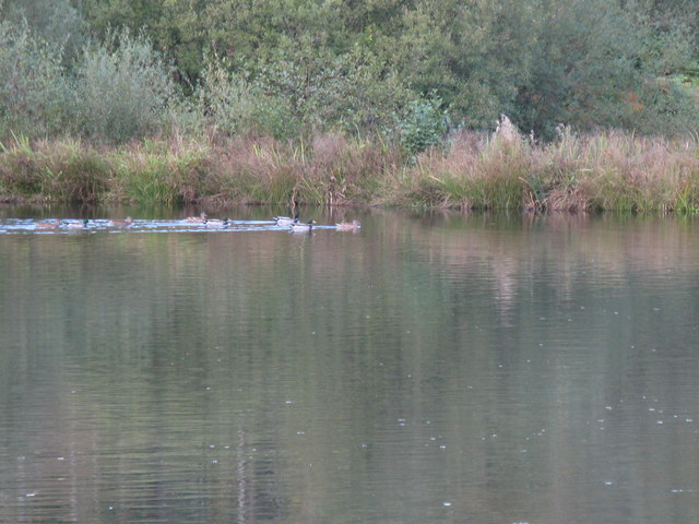 Ducks on fishing pond in Birchgrove Wood