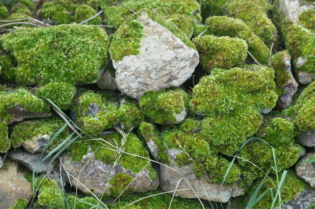Moss-covered wall, Voehead, Baltasound