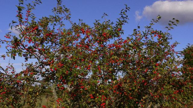 Berries on field boundary