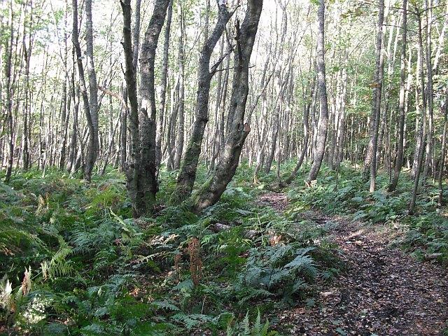 Birch wood, Swinnie Plantation