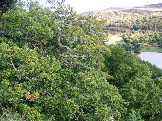 Oak trees above the Tummel
