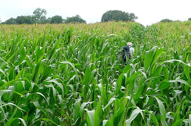 Through the crop