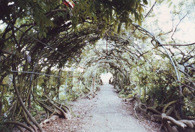 Wisteria arch in the Pleasure Ground, St Thomas, Exeter