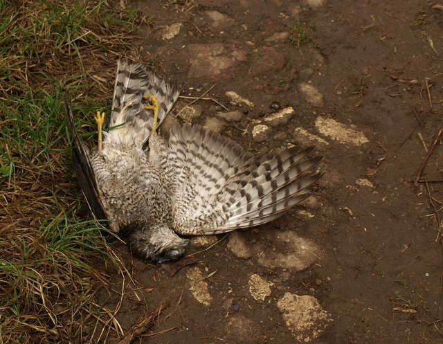 Dead sparrowhawk at Ham