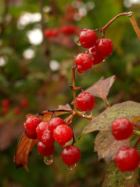 Berries, Netherclay Community Woodland