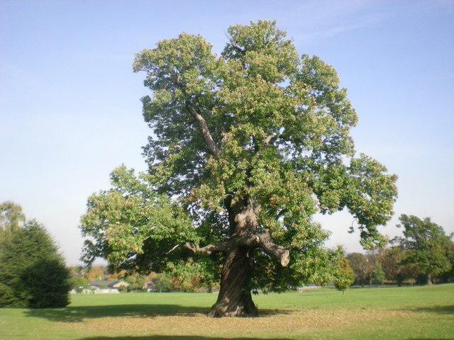 Sweet Chestnut tree in Carshalton Park