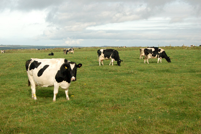 Cattle grazing on St Elvis Farm, near Solva