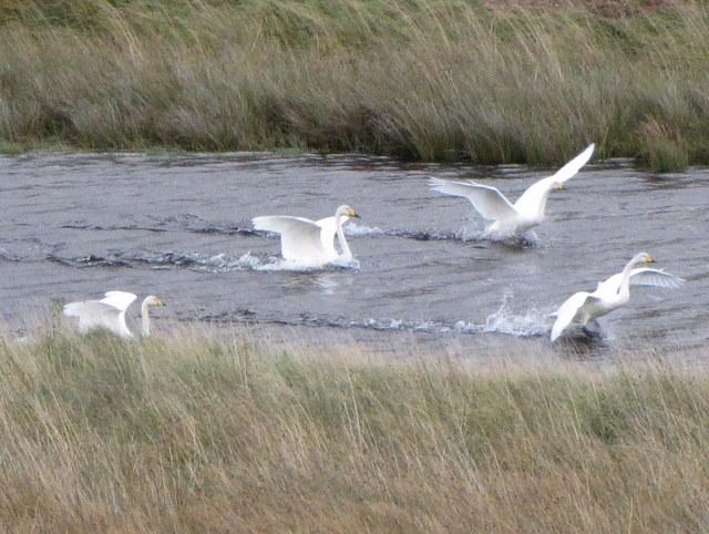 Whooper Swans near Ardchuilk.
