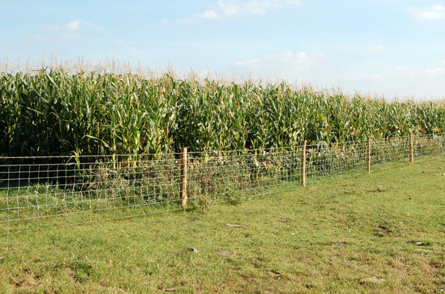 A strip of maize between Eathorpe and Marton