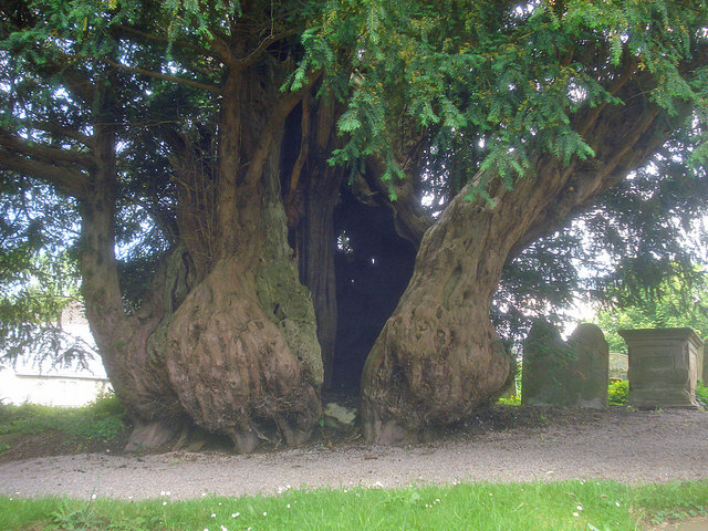 The Linton Yew - 1