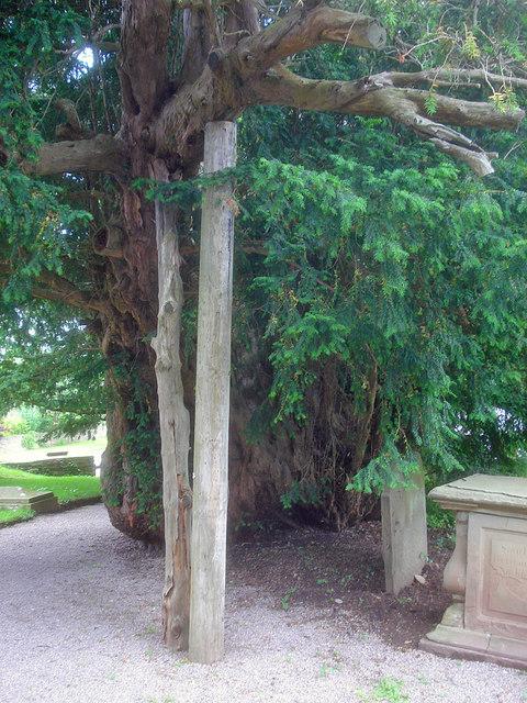The Linton Yew - 2