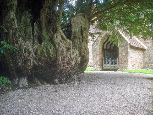 The Linton Yew - 3