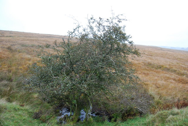 Lone lichen covered hawthorn near Haw Moss