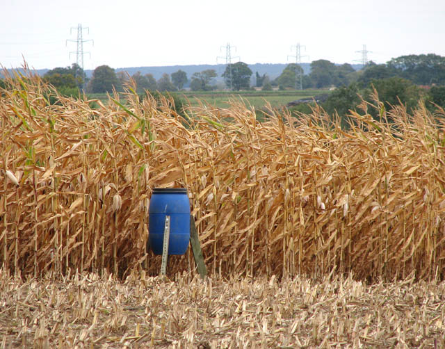 Game bird feeder on the edge of a field of maize