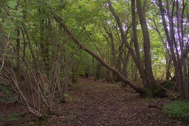Bridleway in Chapfield Wood
