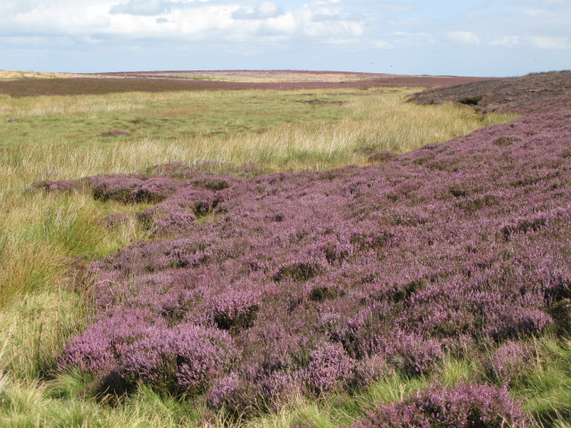 Moorland below Crawberry Hill with heather in bloom
