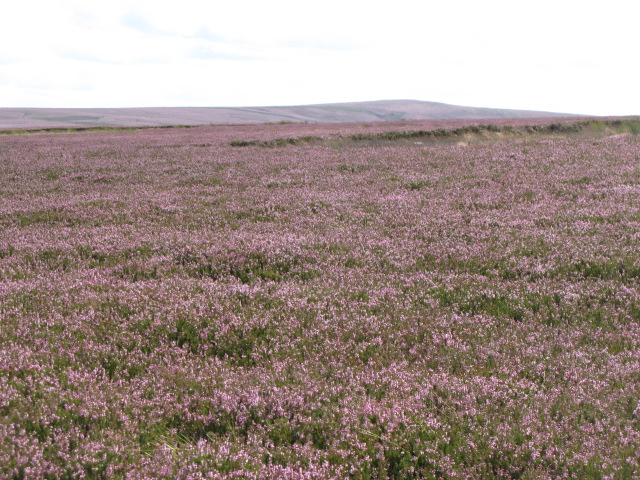 Long Rigg with heather in bloom