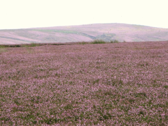 Long Rigg with heather in bloom (2)
