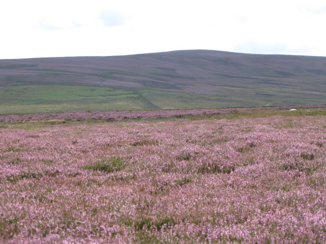 Burntridge Moor with heather in bloom (2)