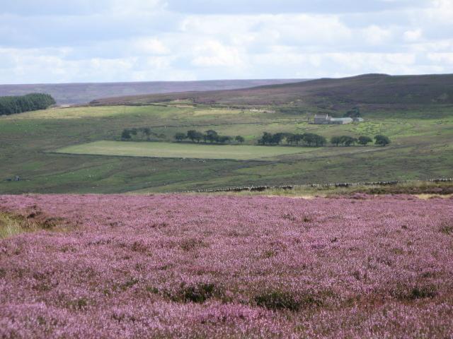 Burntridge Moor with heather in bloom (3)