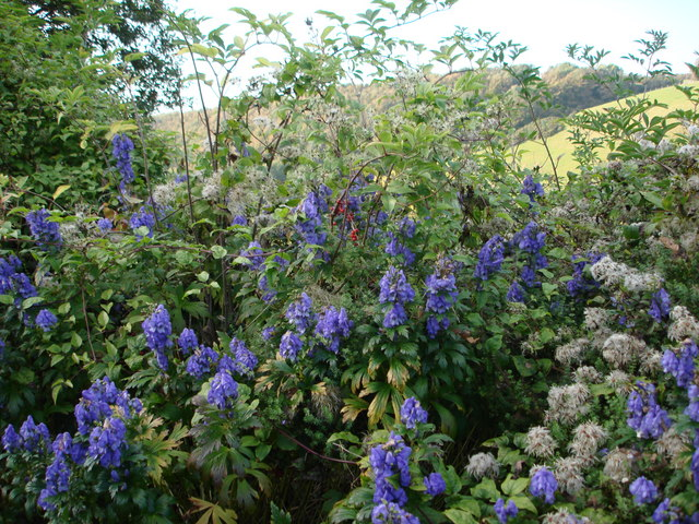 Aconite Monkshood Or Wolfsbane Tom Jolliffe Geograph - Where does wolfsbane grow in the us map