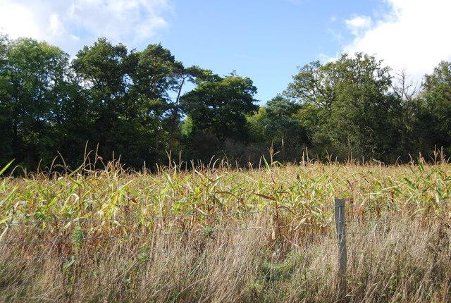 A field of Maize near Home Covert Wood