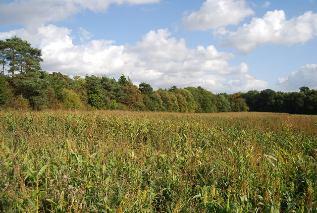 Field of Maize near Home Covert Wood